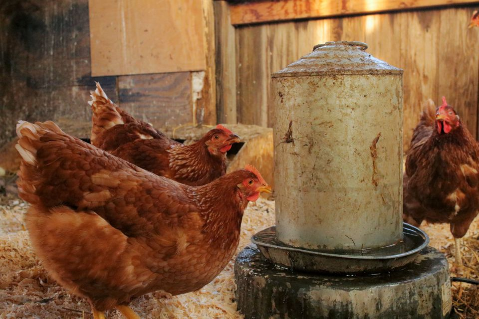 heated water furnace for hens