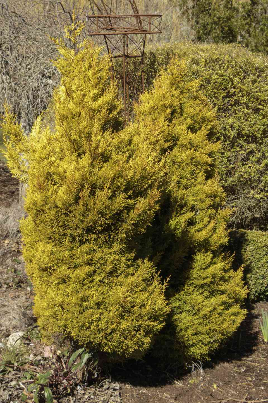 Image of Cupressus macrocarpa 'Goldcrest'