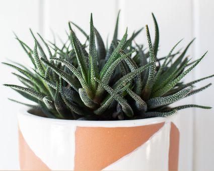 closeup of a haworthia succulent
