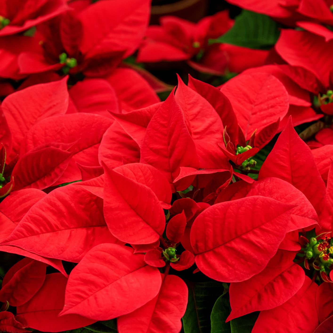 Poinsettia Growing And Display Tips
