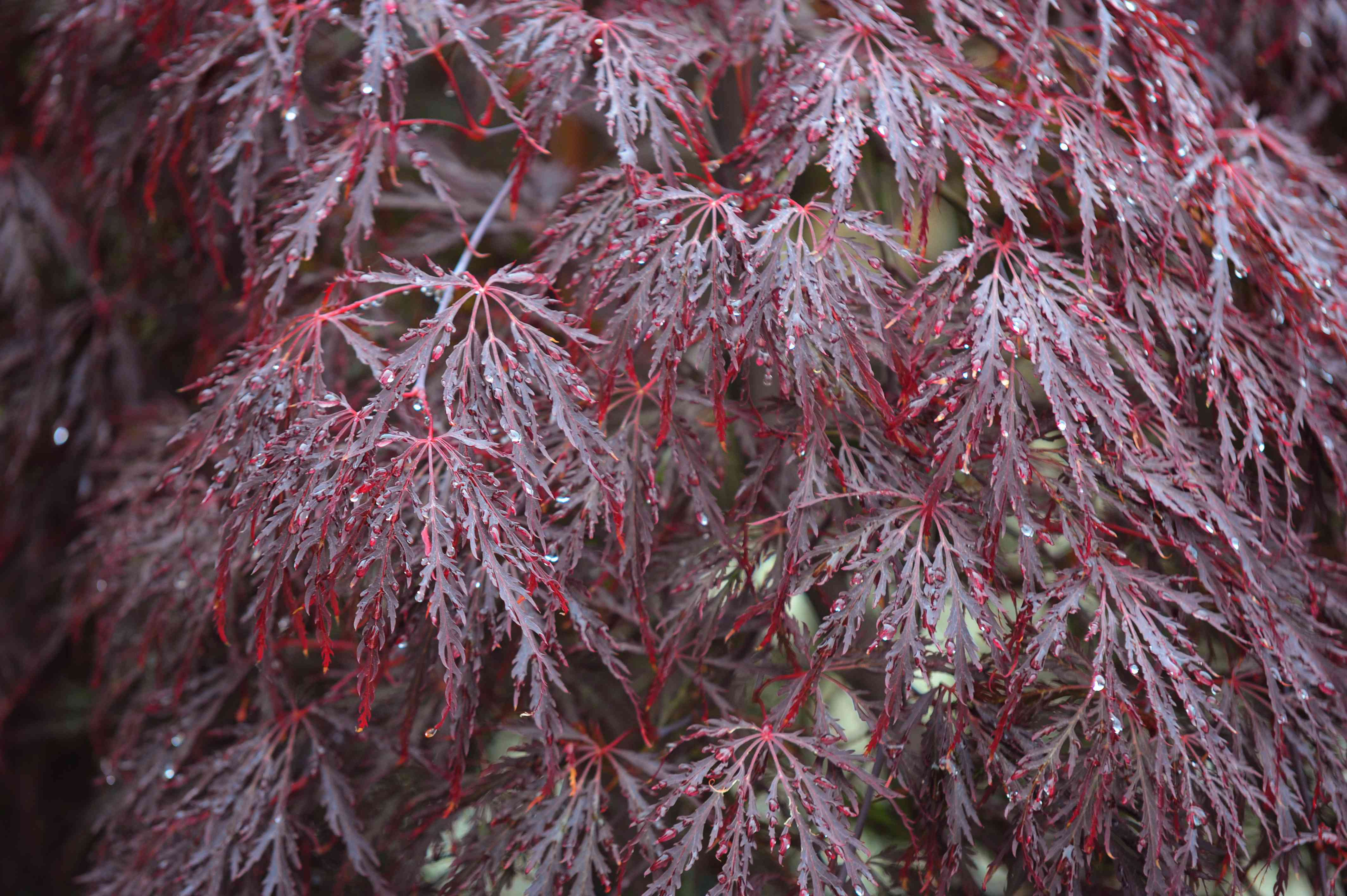 Red dragon Japanese maple tree with dark red feathery leaves on weeping branches