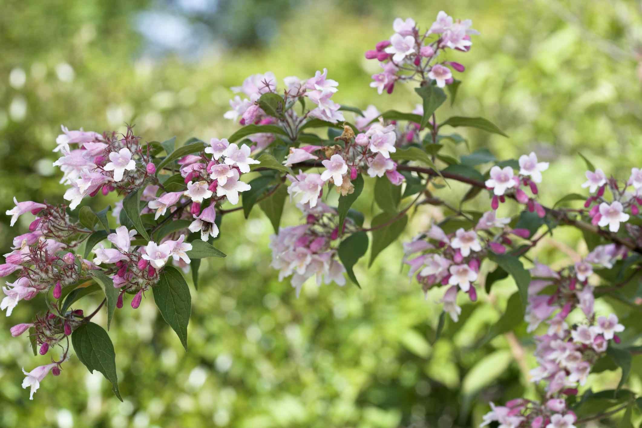 Beautybush (Kolkwitzia amabilis) 'Pink Cloud', June