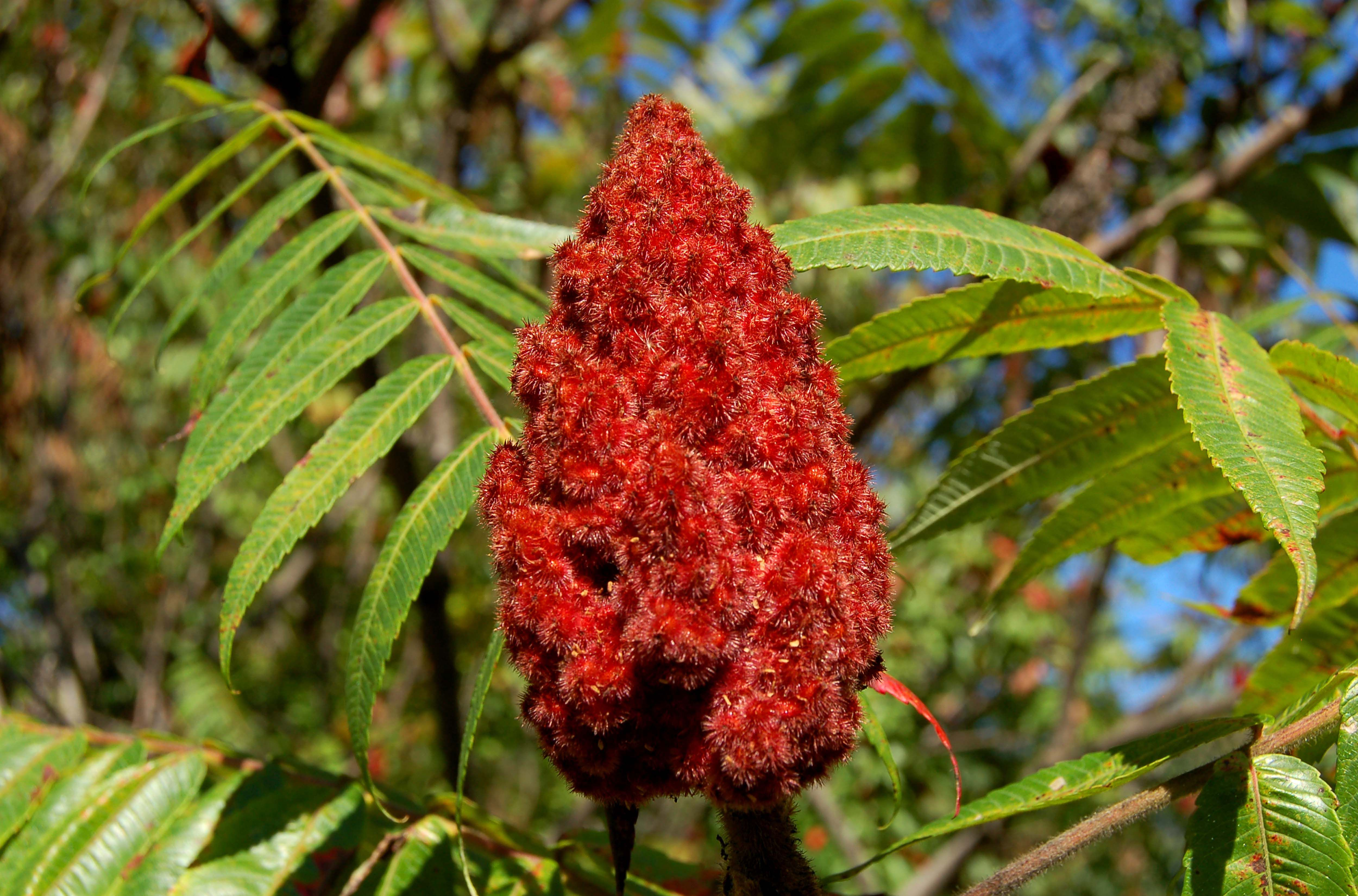 Pictures of Poison Sumac for Identification