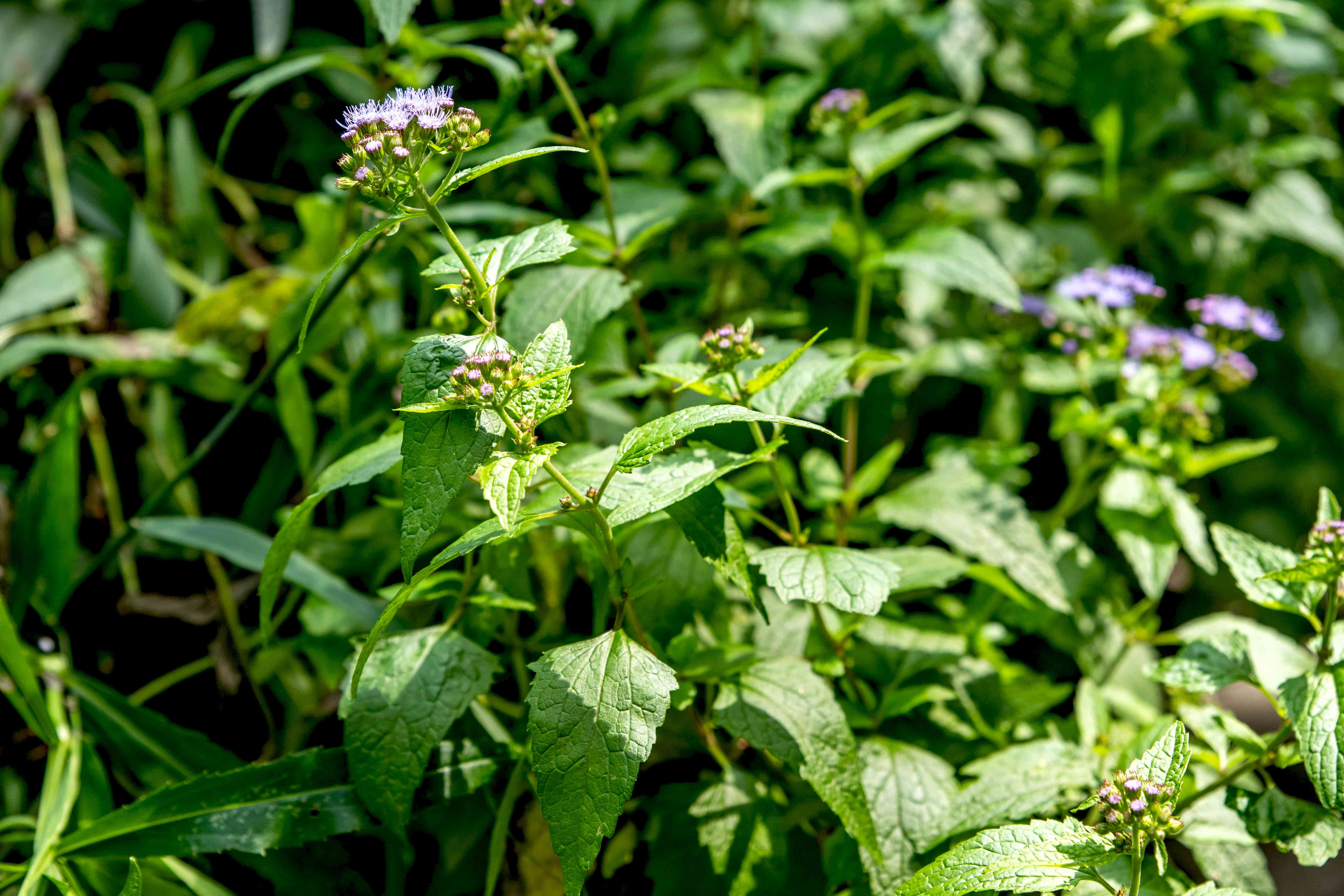 Blue mistflower with triangluar leaves and thin stems with tiny fuzzy flower clusters in sunlight