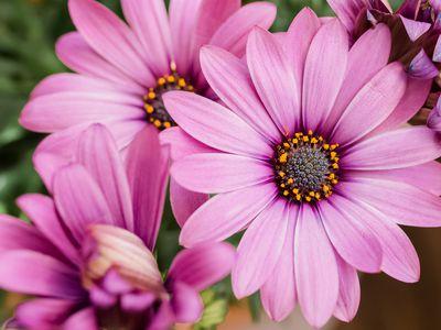 closeup of African daisies