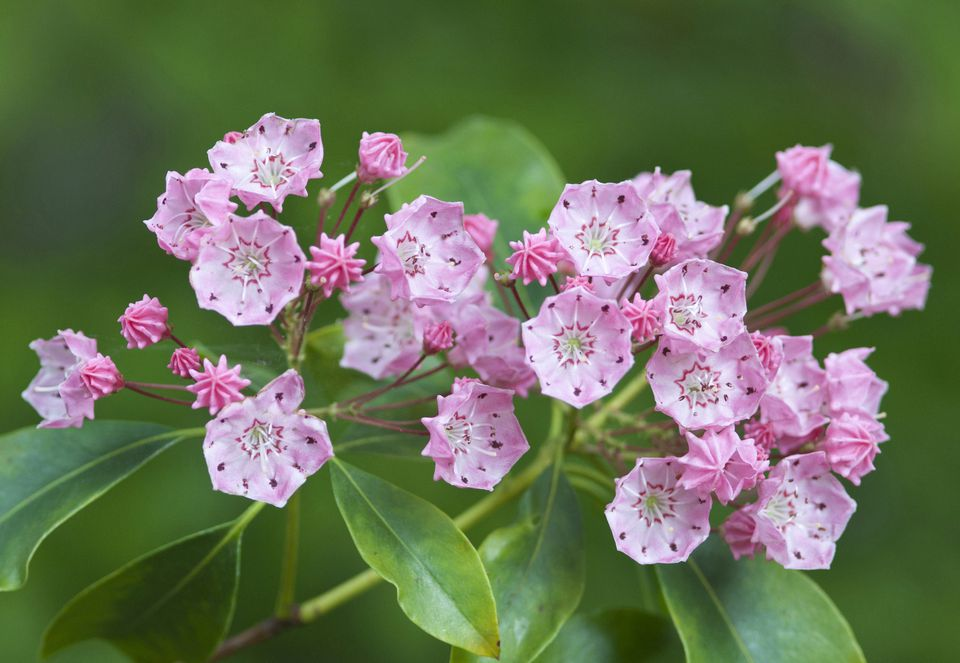 Mountain laurel shrub with pink flowers