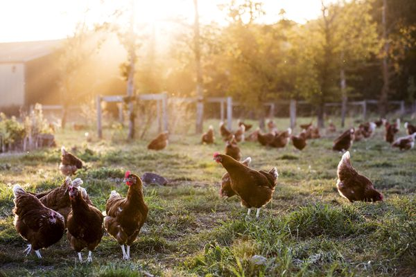 Free range chickens outdoors in early morning light on an organic farm.