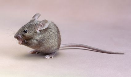 Close-up of a house mouse