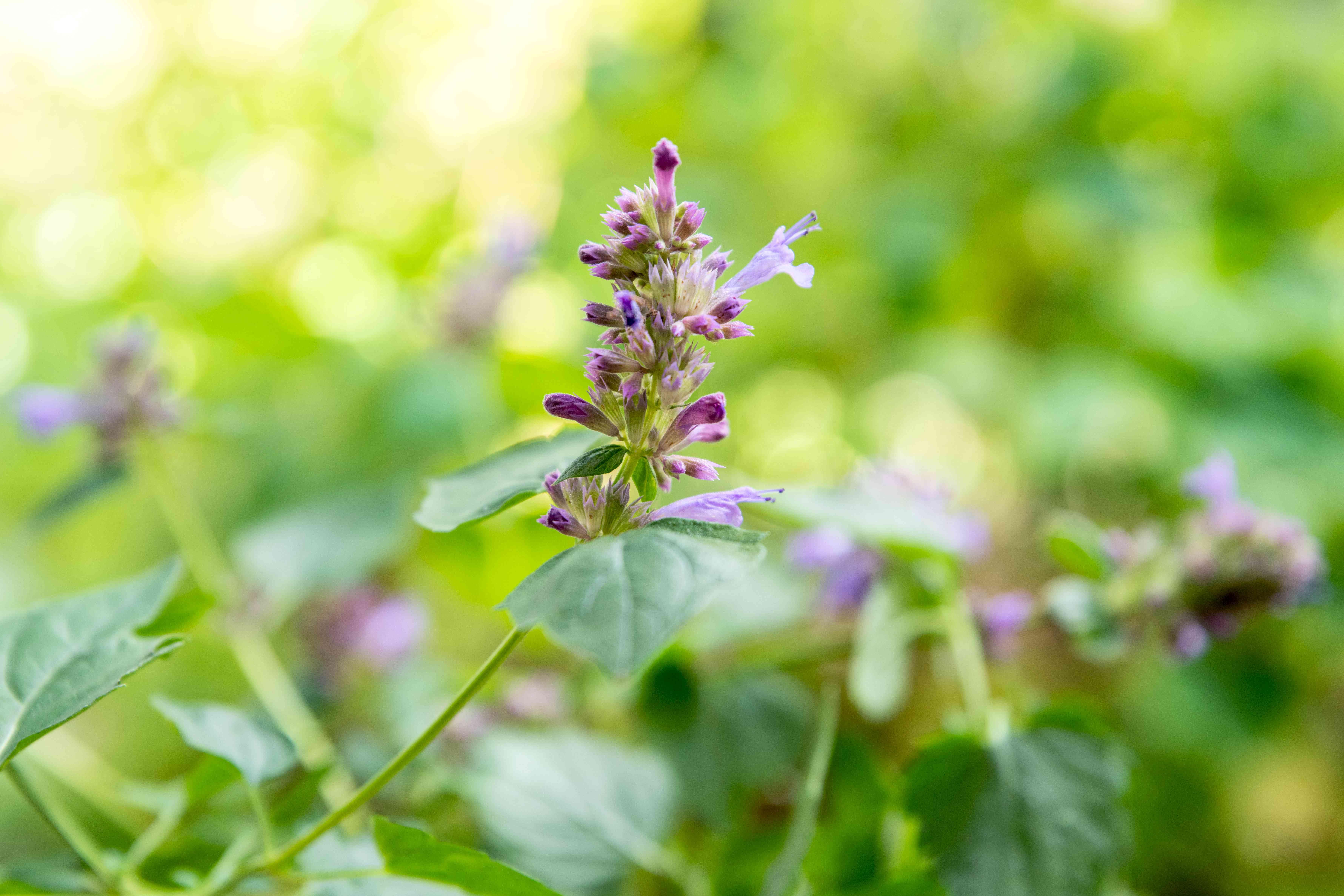 Agastache plant with flower spike and tiny purple flowers budding on thin stem