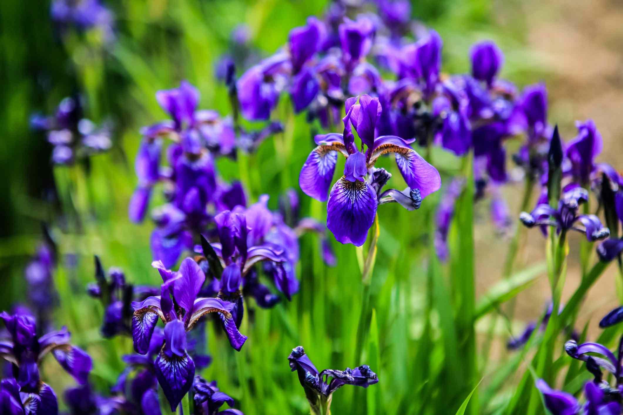 Purple iris blossoms