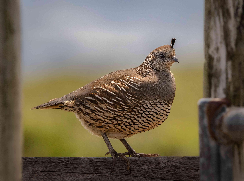 Female california quail