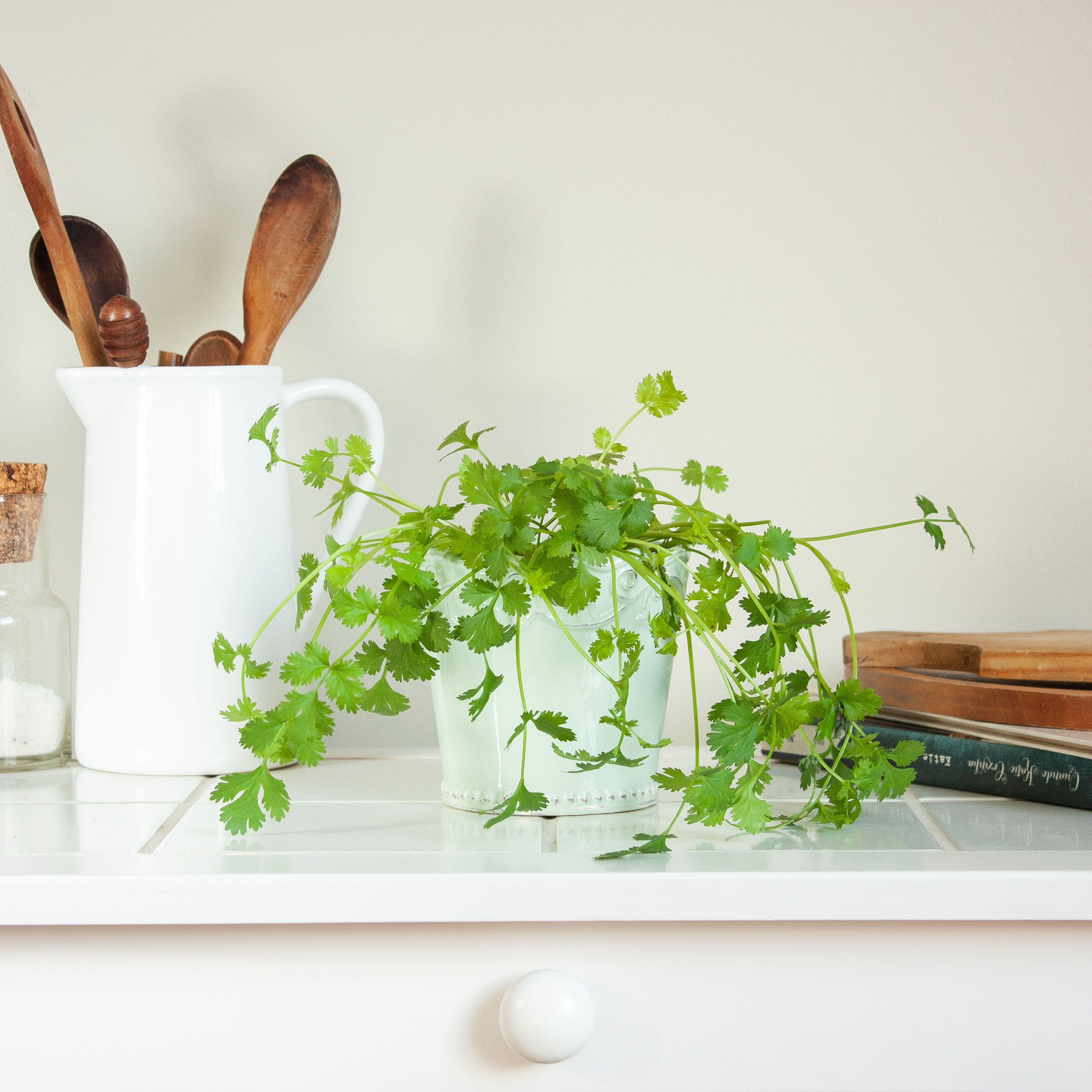 How To Grow And Care For Cilantro Coriander