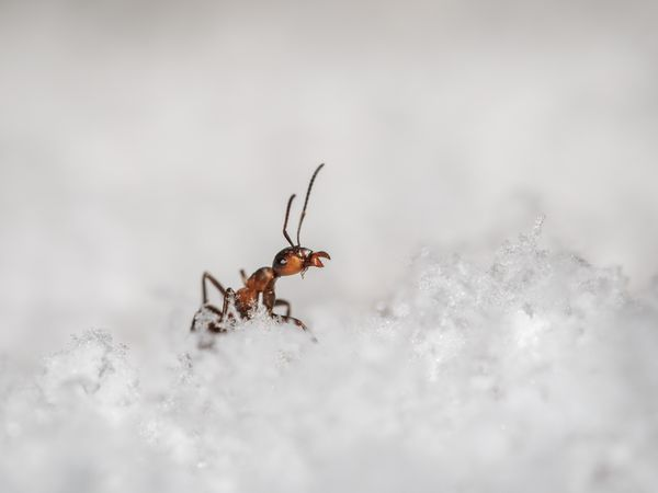 Ant in the Snow