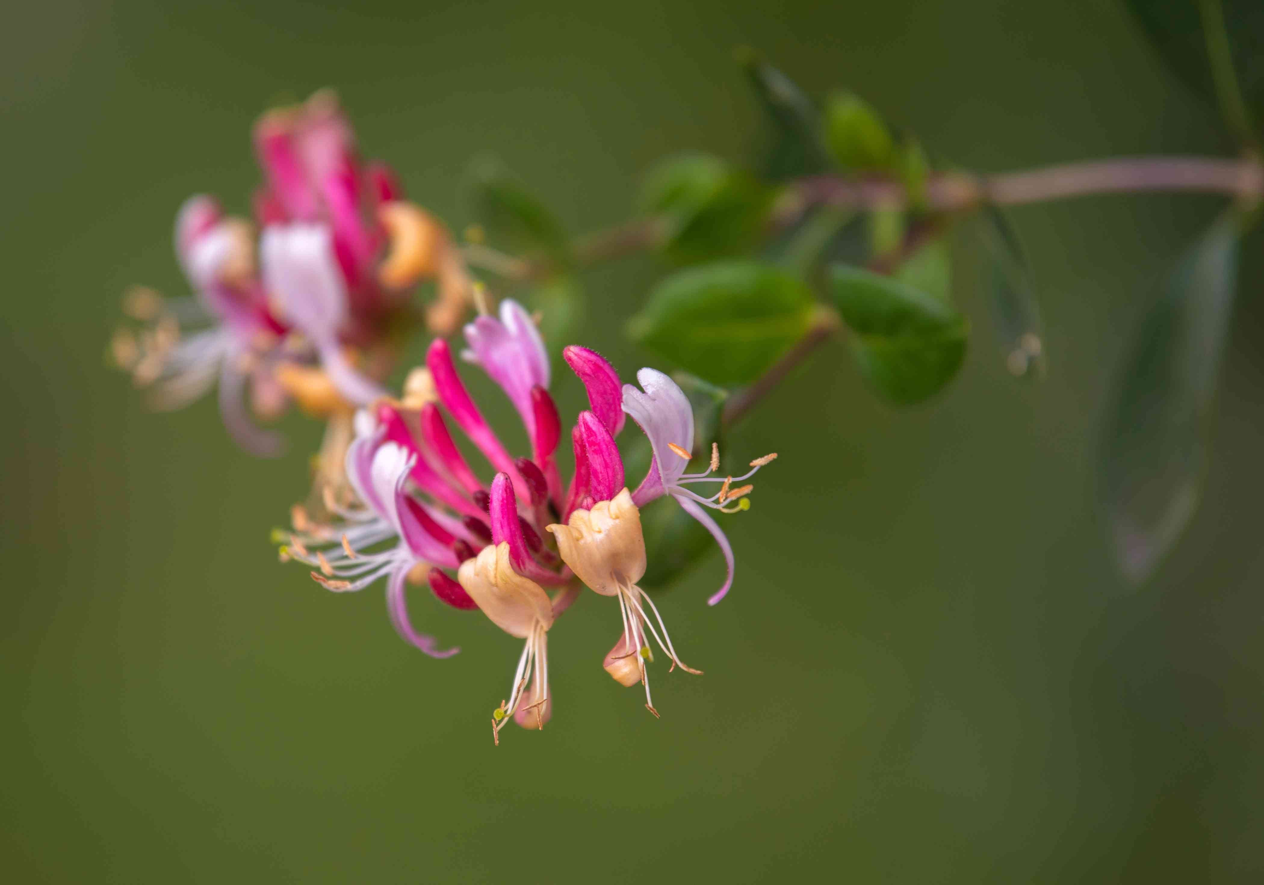 Common honeysuckle plant with tubular pink and yellow flowers closeup