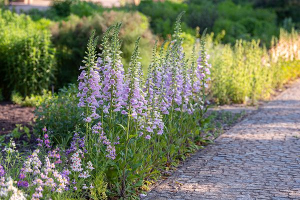 Foxglove poisonous plants lining cobblestone pathway with light purple bell-shaped flowers on tall thin stems
