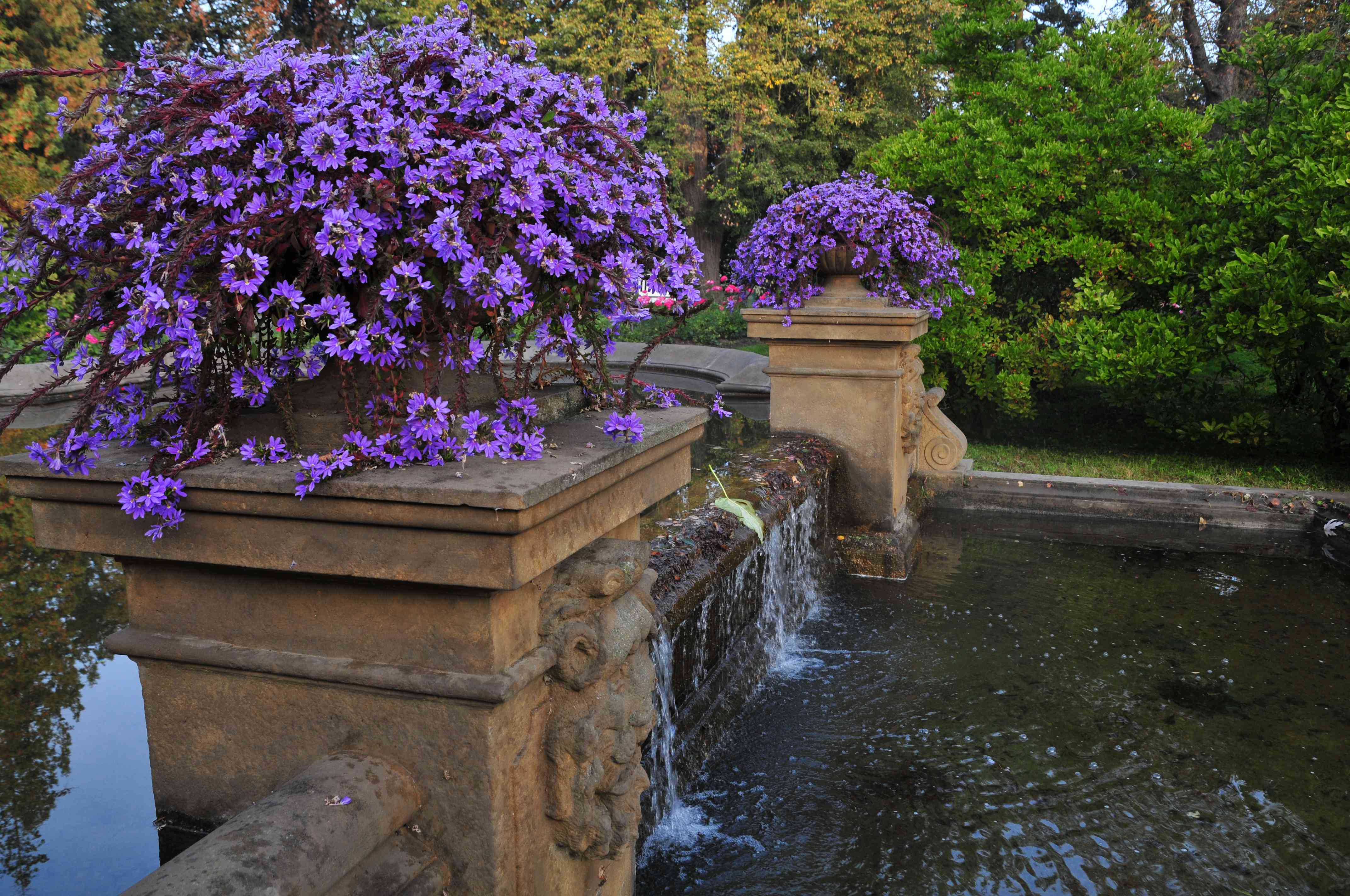 Scaevola plant with dark red bract stems and bright purple flowers in stone planter near fountain