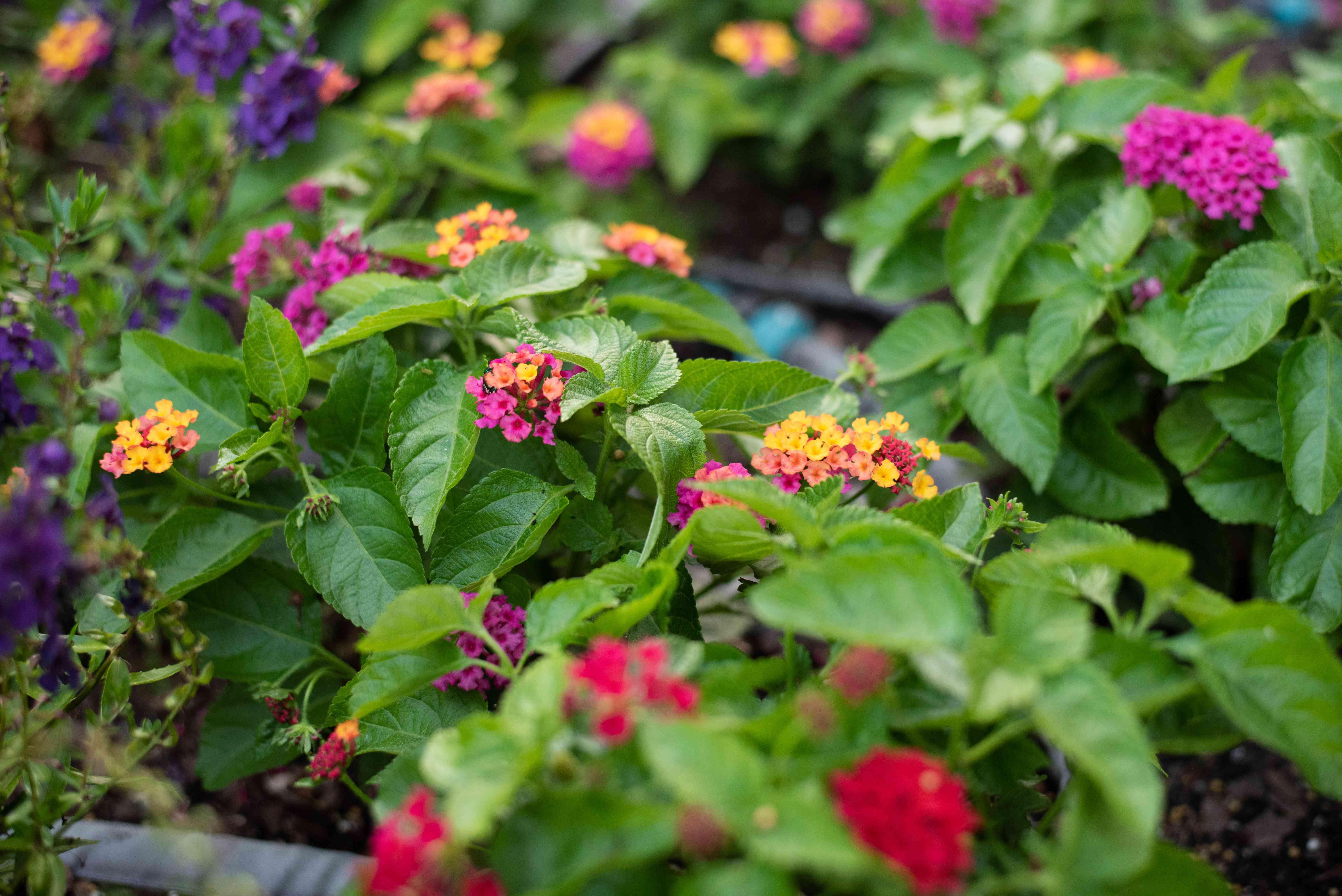 Bloodflowerplant with waxy green leaves and tiny clusters of yellow and pink flowersflower