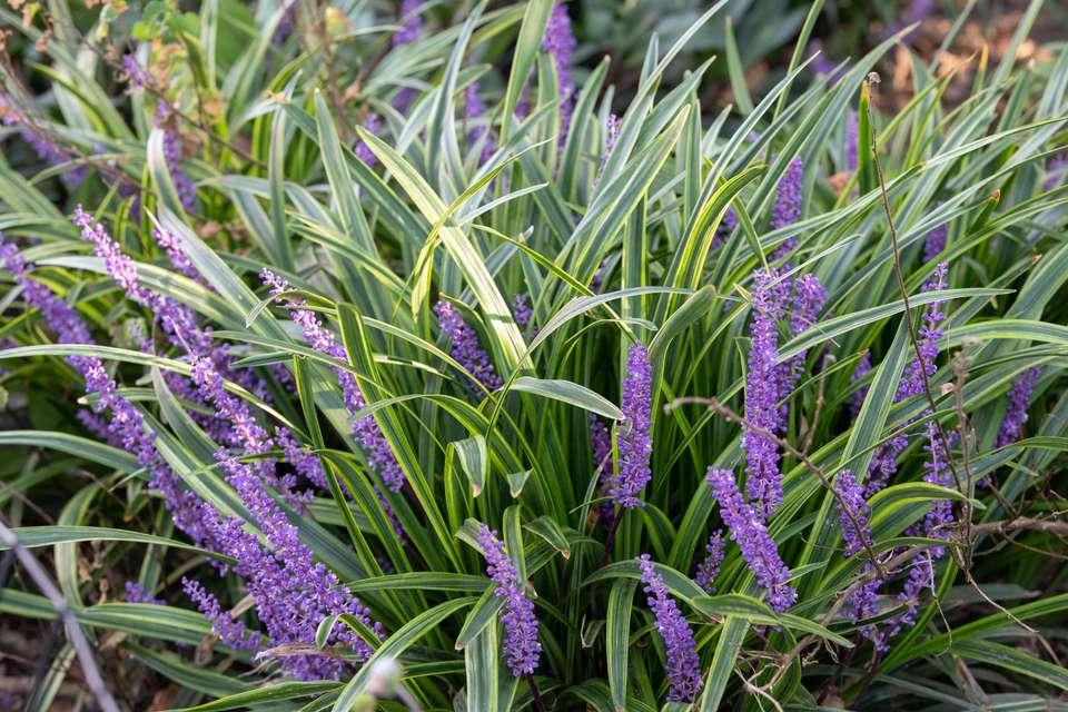 liriope grass