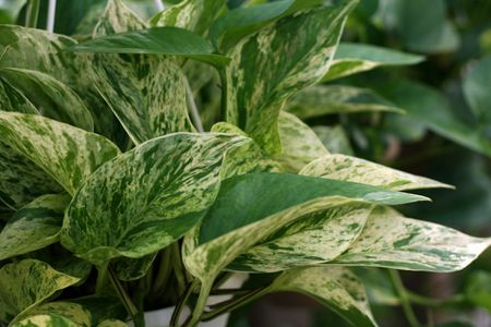 Pothos Plant: Care and Growing Guide on white and green leaves weed, epipremnum pothos house plant, potted white azalea plant, serene peace plant, white calla lily plants,