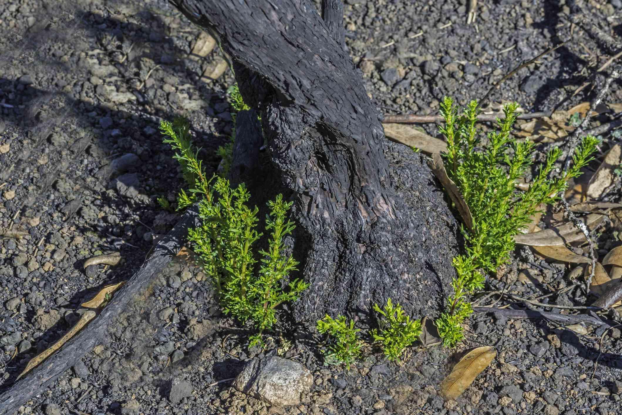 Chamise - Adenostoma fasciculatum var fasciculatum