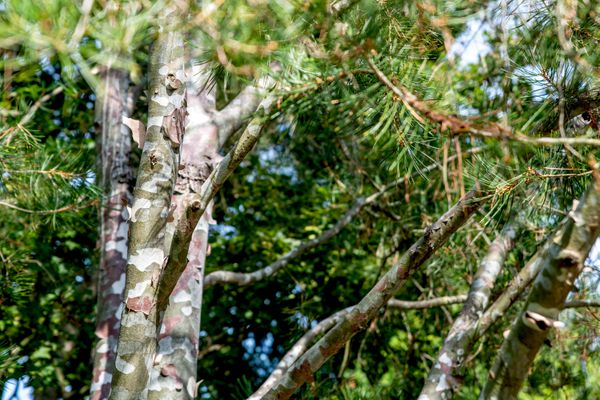 Lacebark pine with peeling green bark revealing white undertones and branches with pine needles
