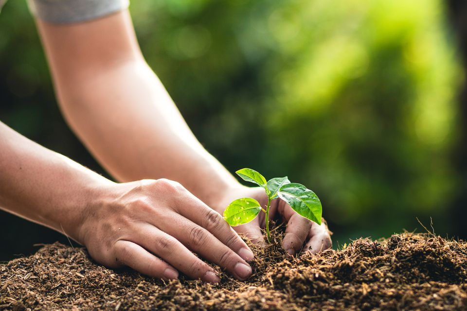 Cropped Hands Planting Sapling In Dirt