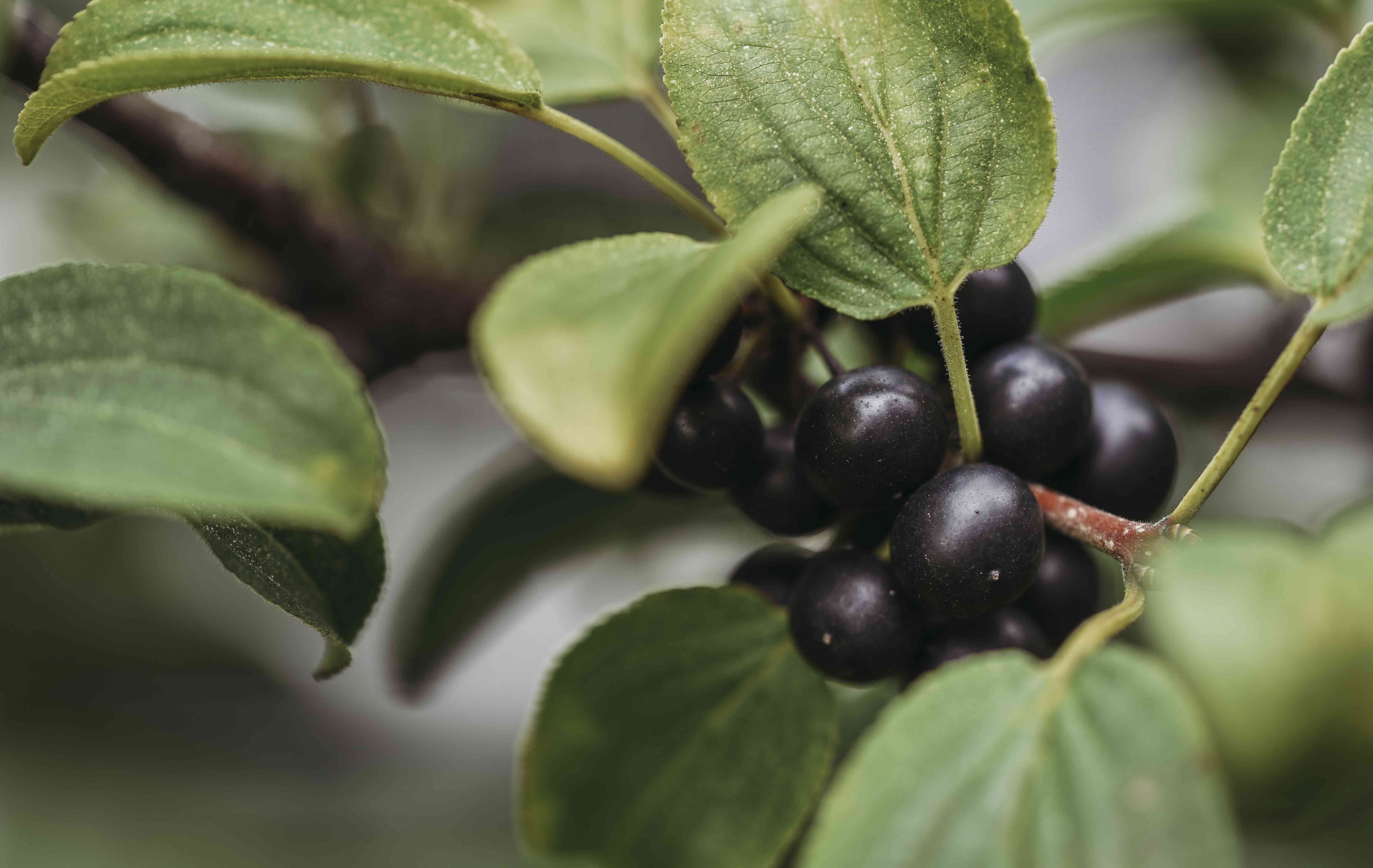 Close-up of huckleberries growing on plant in farm