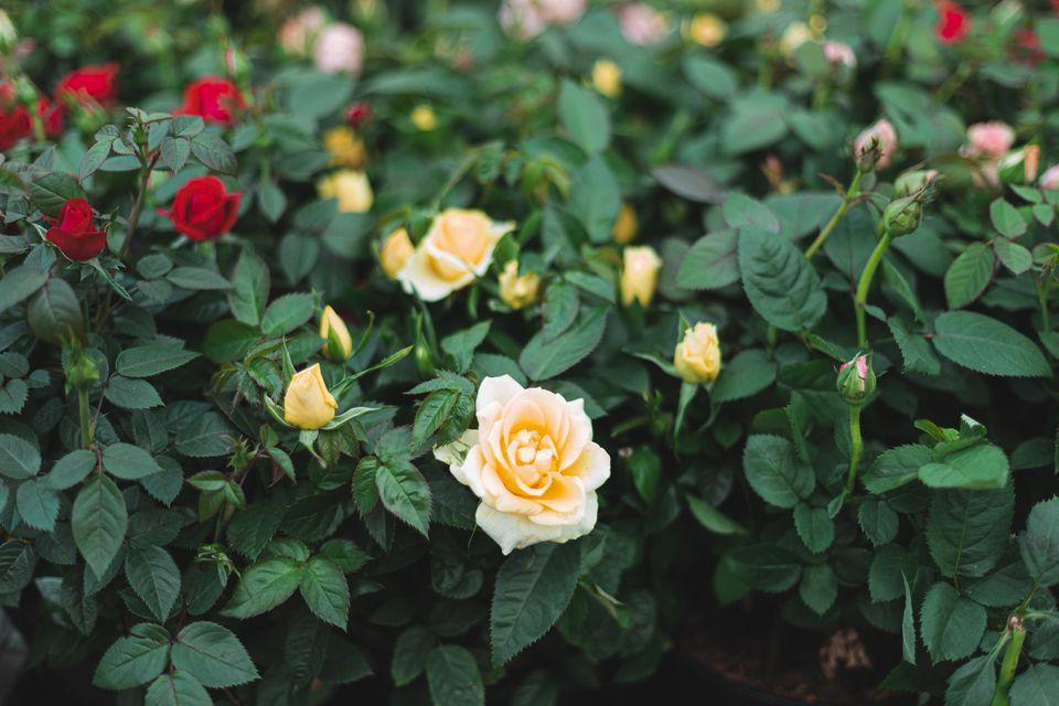 miniature rose bush