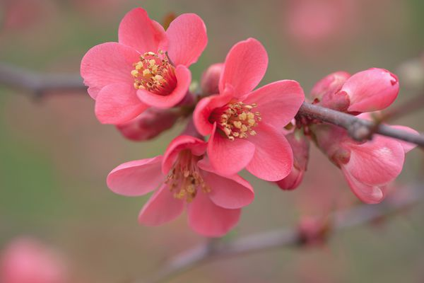 Japanese quince shrub branch with small pink flowers and yellow anthers closeup