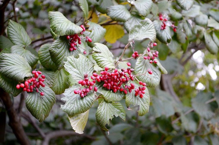 Red berries and oval olive green leaves with a textured appearance.