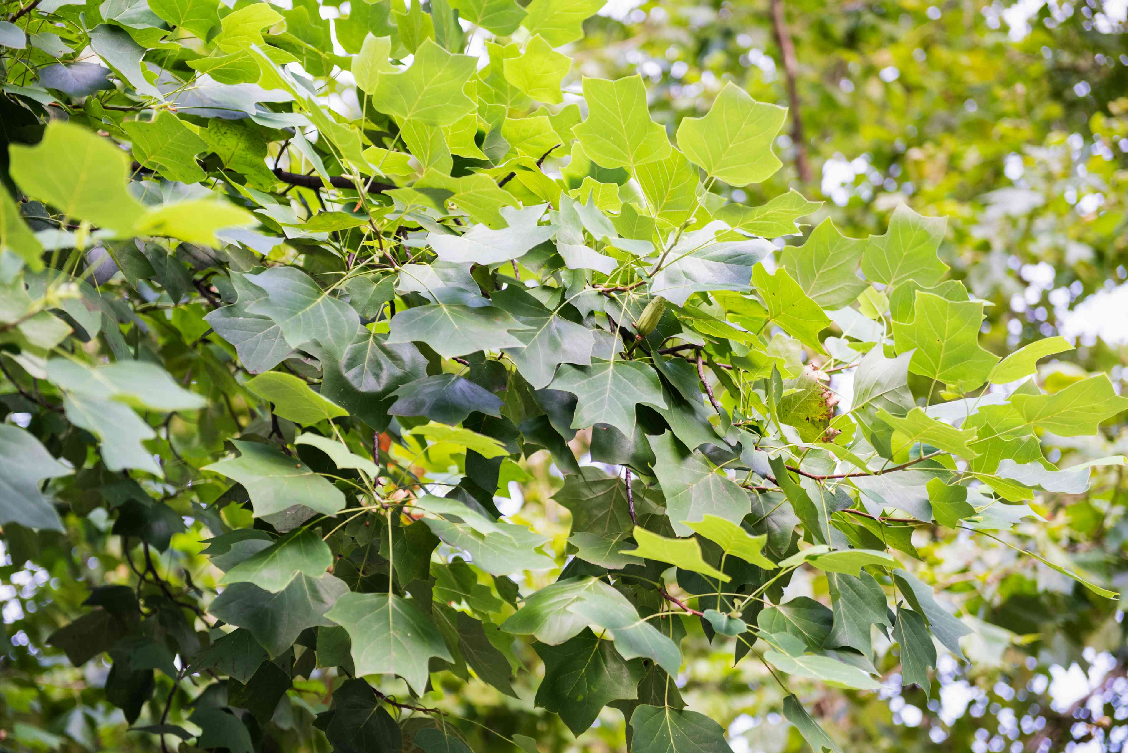 Tulip tree branches with yellow-green leaves bunched together on branch ends