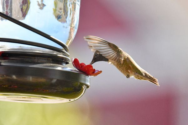 Hummingbird at a home feeder in Texas 3