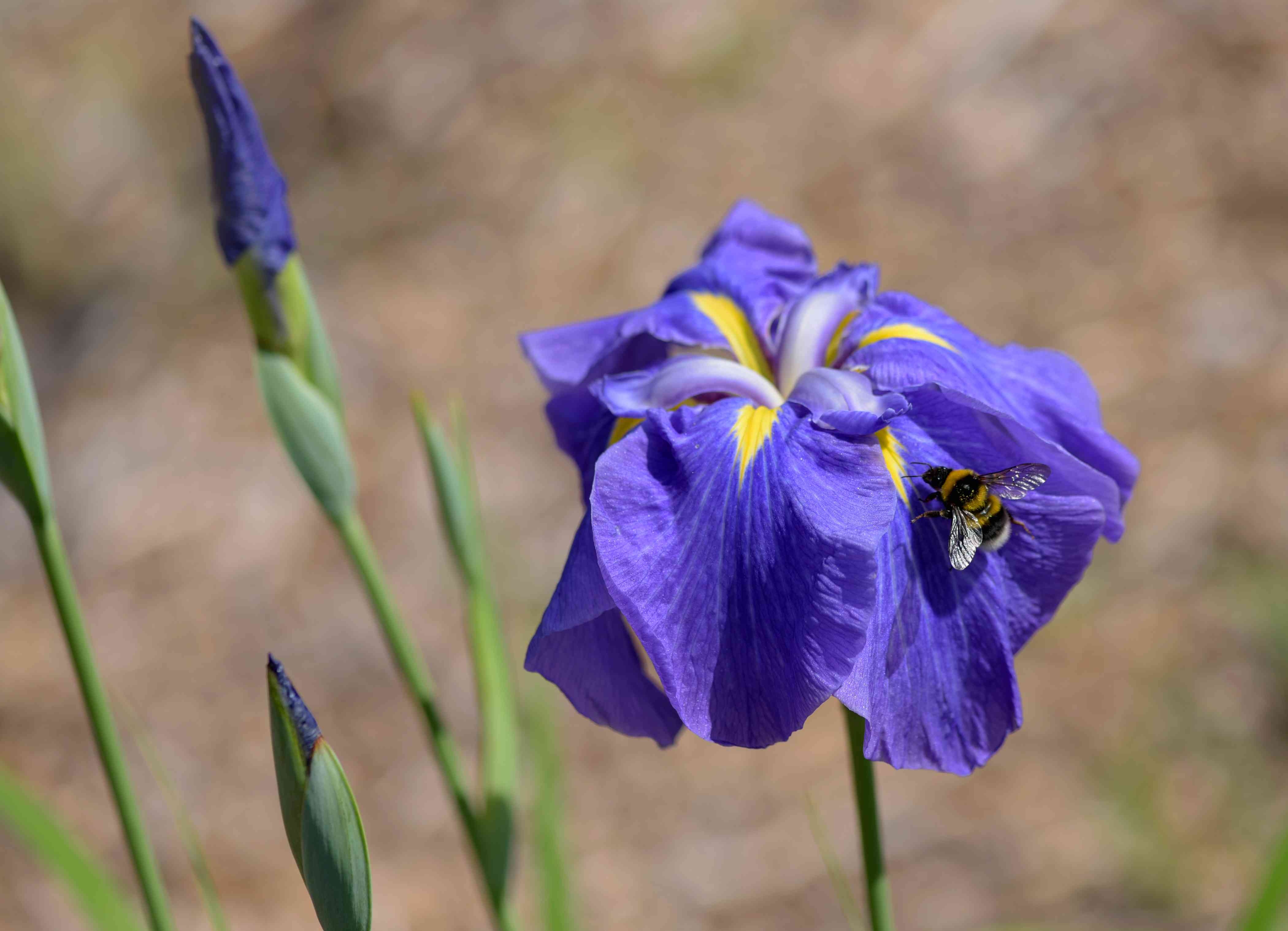 Japanese iris plant with flat purple and yellow flowers and buds on thin stems with bee on top closeup