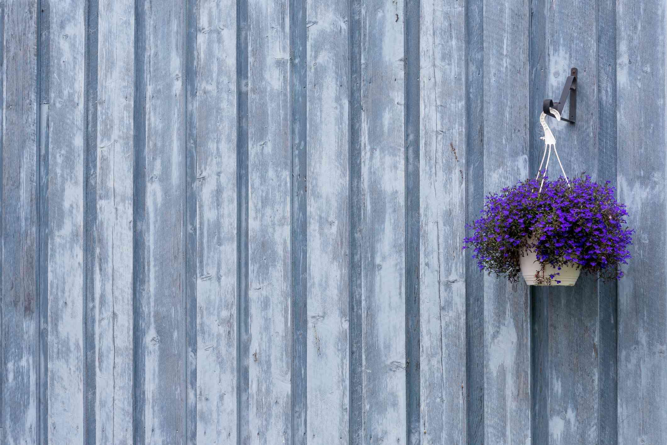 Hanging basket of Lobelia flowers