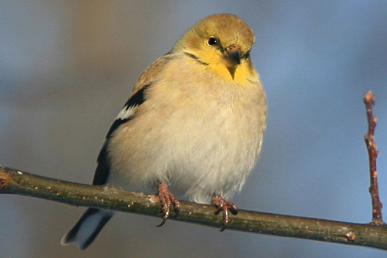 American Goldfinch, the state bird of New Jersey, perched on a branch.