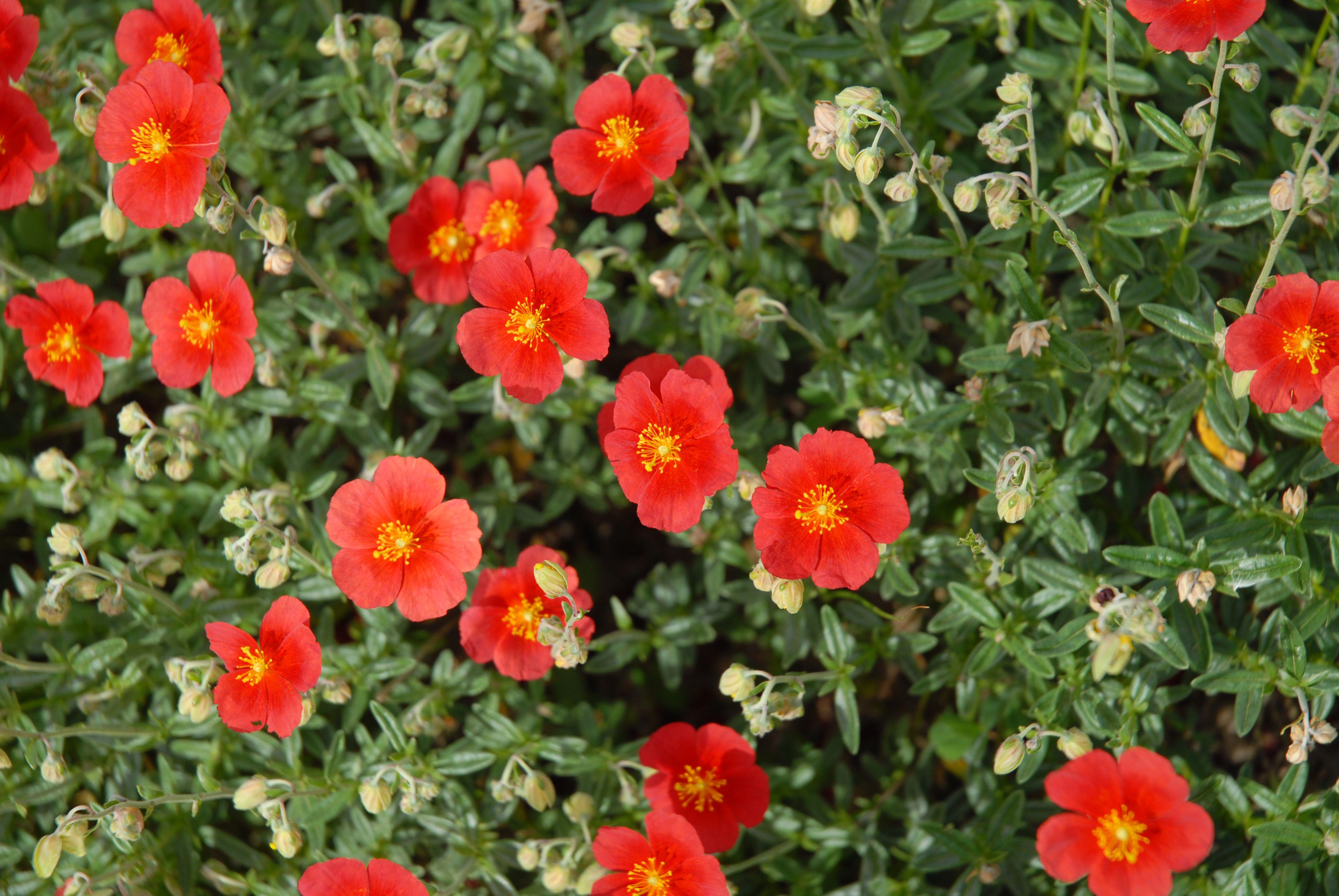 rock rose red