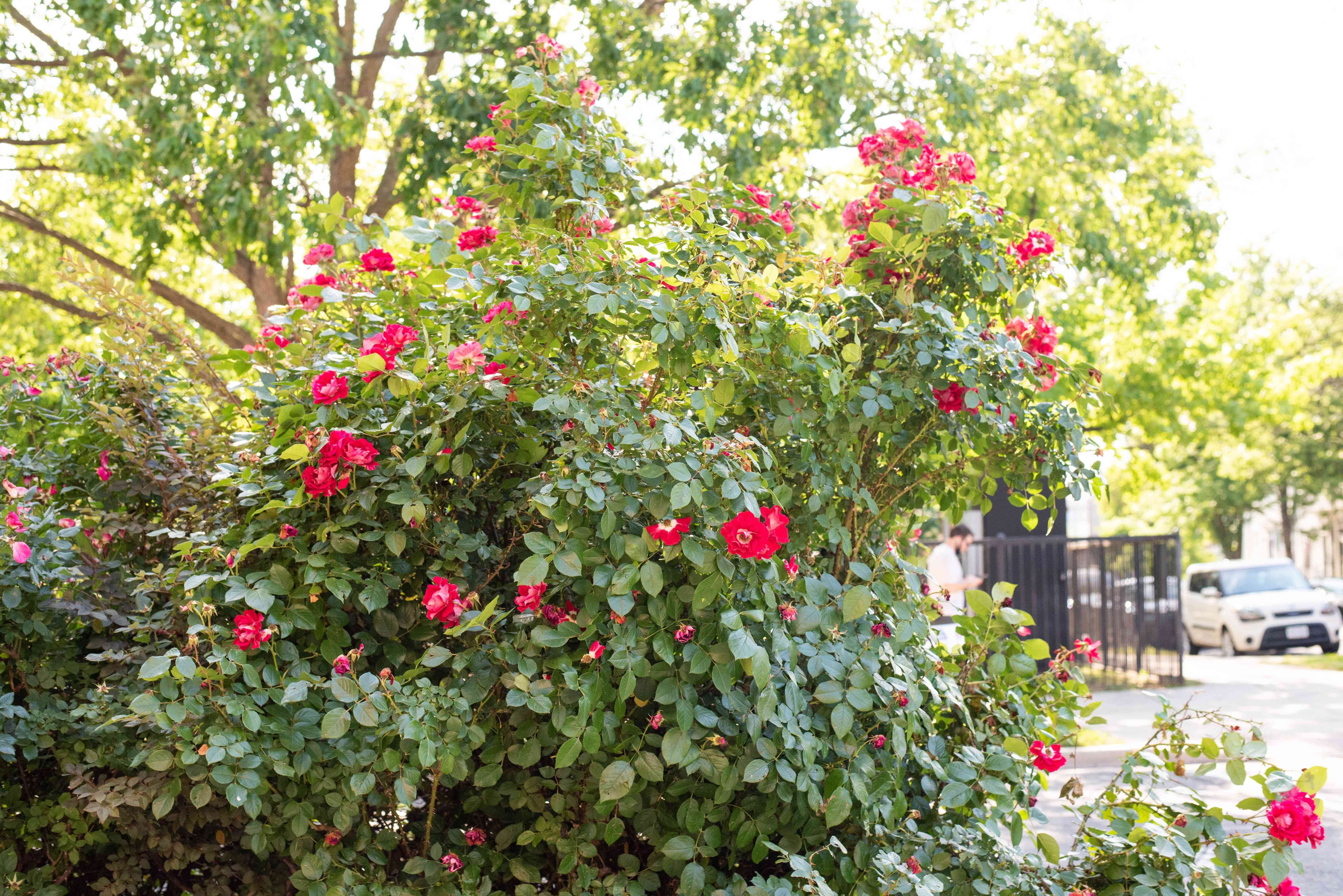 Candy oh rose bush with blue-green leaves and bright pink flowers near walkway