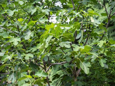 Common fig tree with large leaves on branches