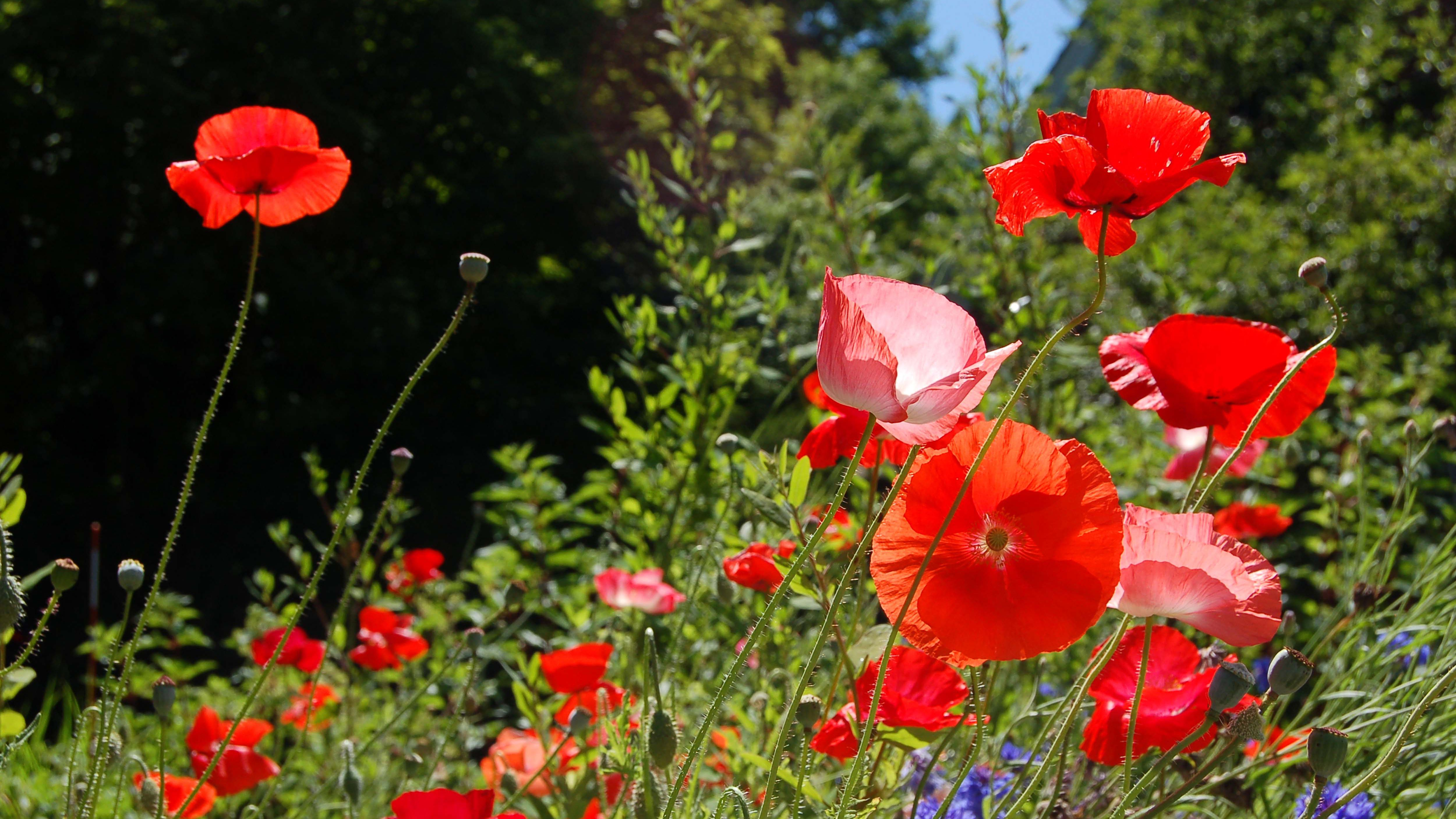 Poppies Hard Easy And Too Easy To Grow Types