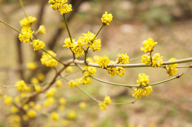 Lindera benzoin or spicebush yellow plant at spring