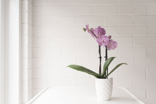 A Phalaenopsis orchid in a white pot on a table.