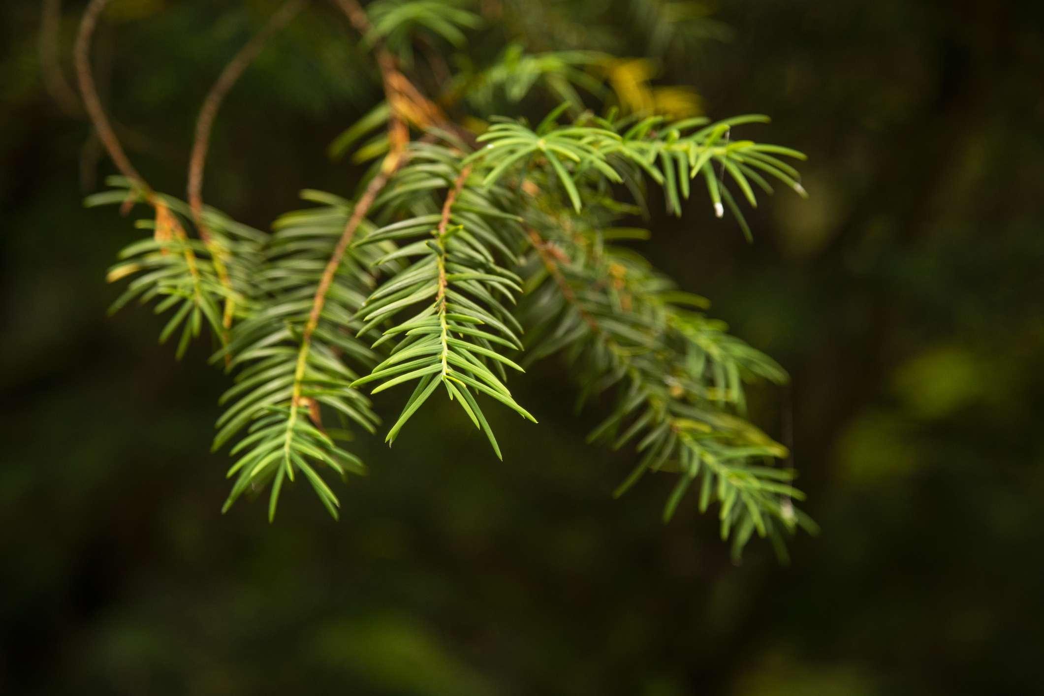 Himalayan fir