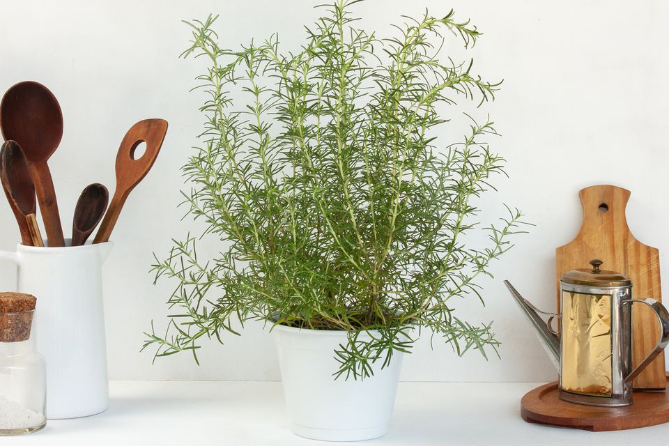 rosemary plant indoors