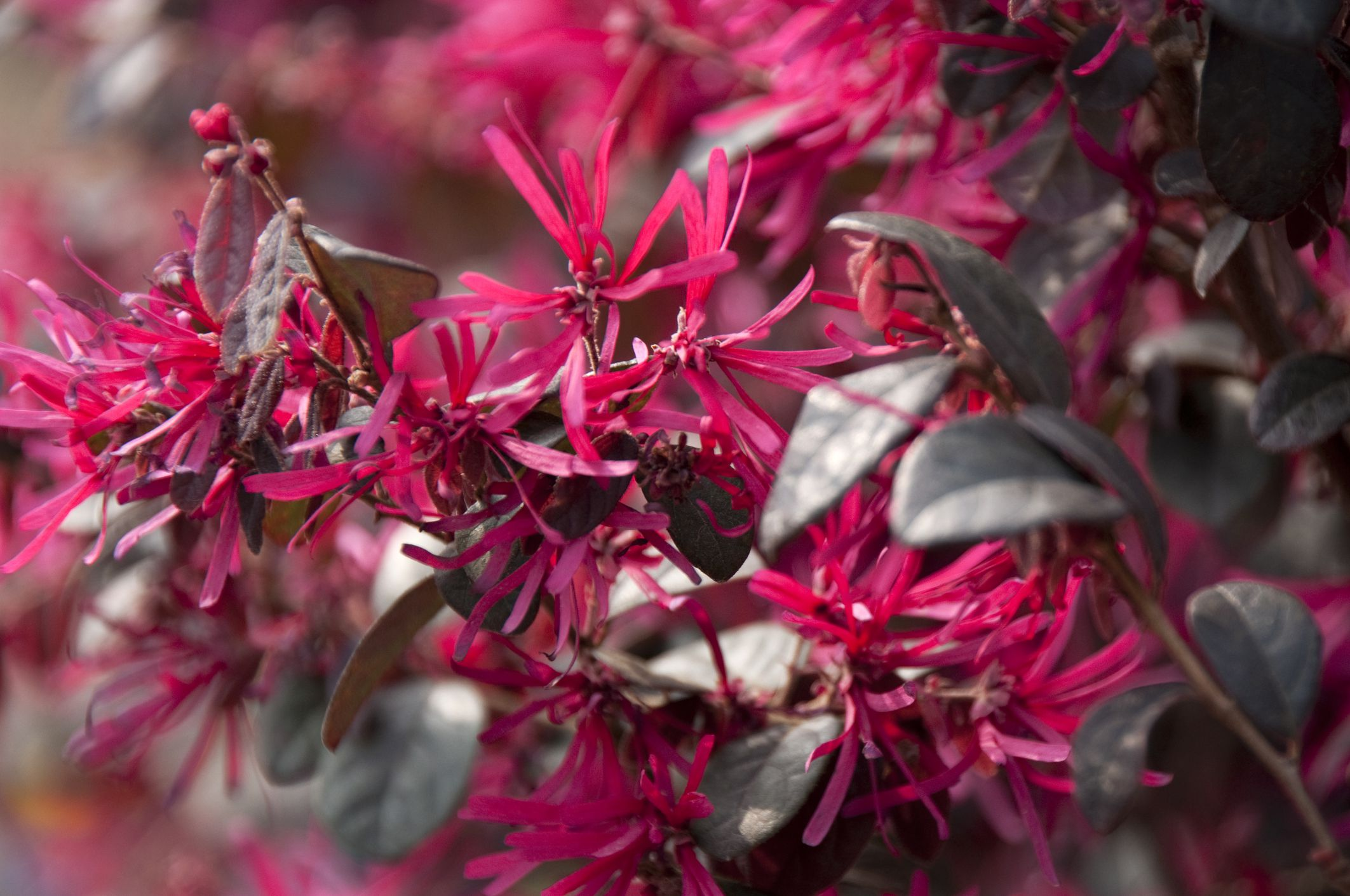 The Bright Hues Of Loropetalum Shrubs