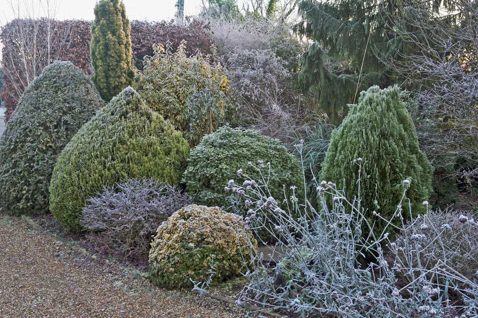 Evergreens After a Frost