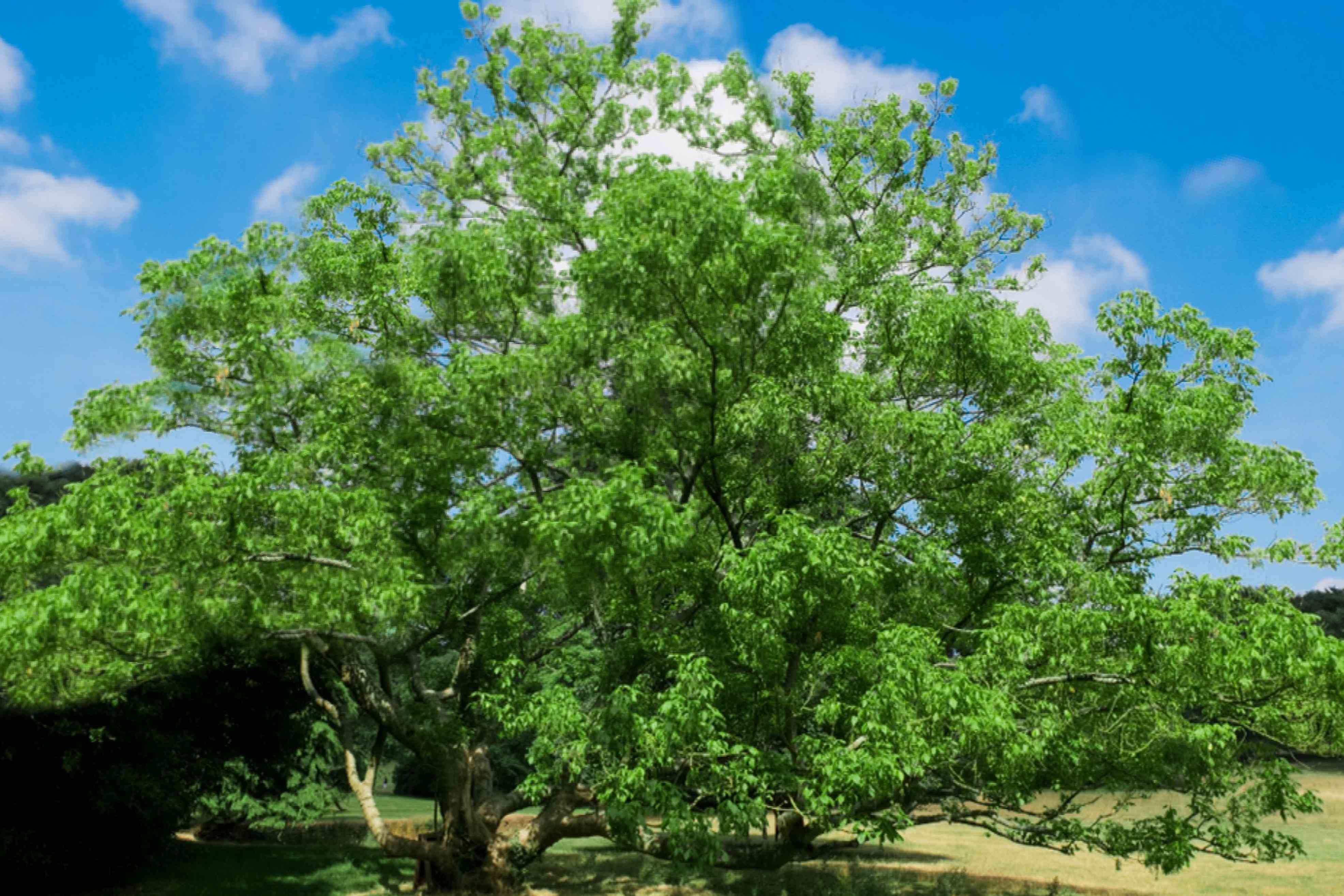 Boxelder tree with bright green leaves on extending branches against blue sky