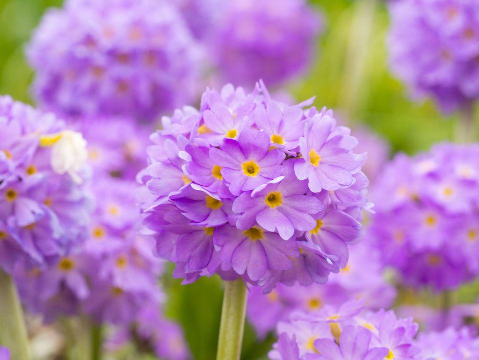 Primer plano de planta de floración púrpura