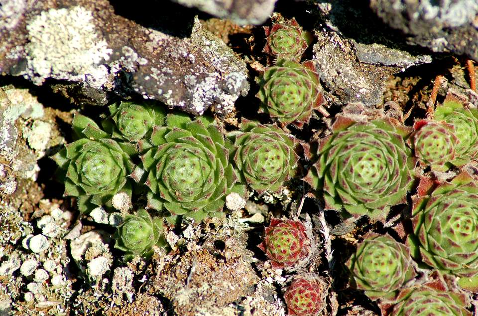 Sempervivum 'Yancha Mizu' (image) is a hen and chicks plant. The genus name means always live.
