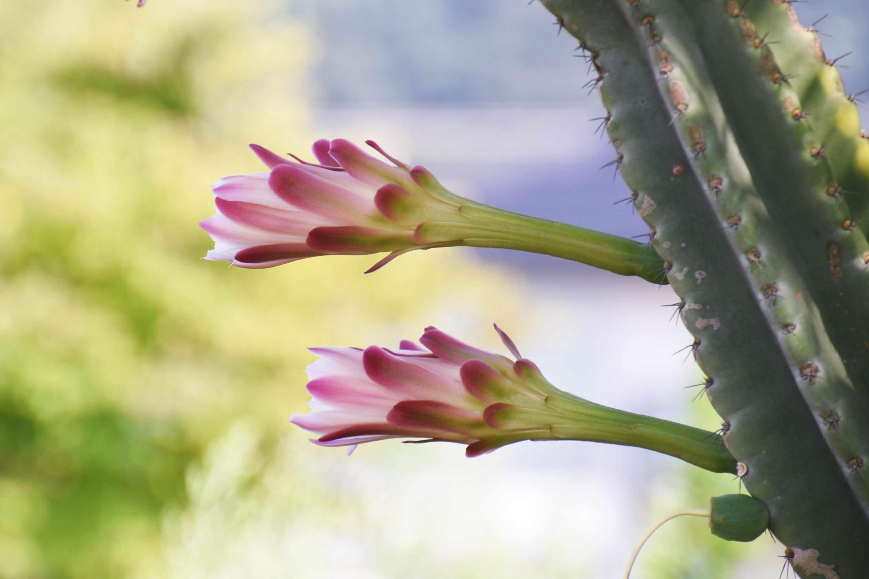 Peruvian apple cactus in bloom.