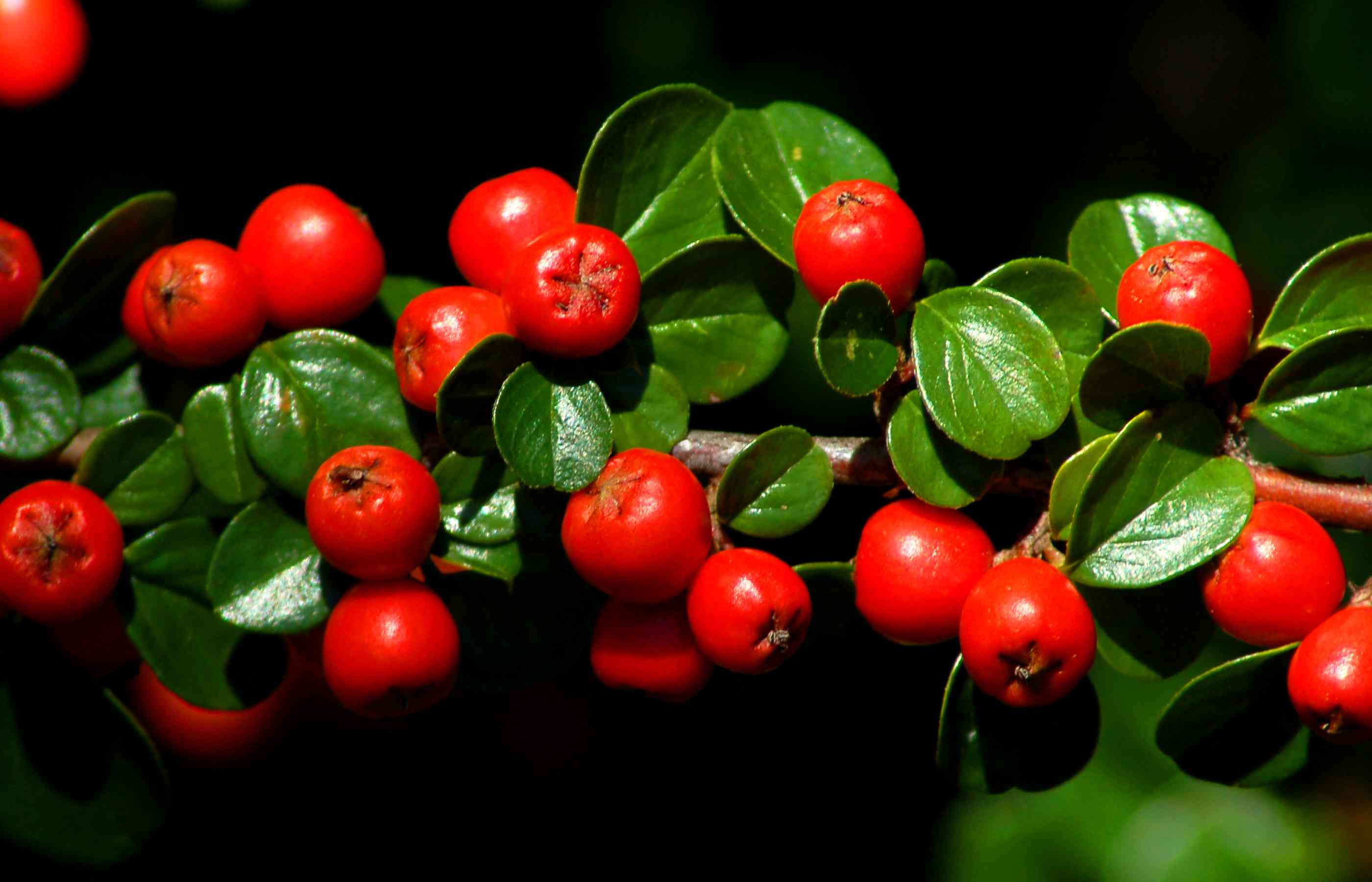 Cotoneaster bushes bright red berries